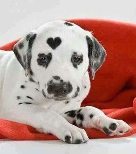 promoción tattoo tatuaje mascota descuento perros gatos 13depicas